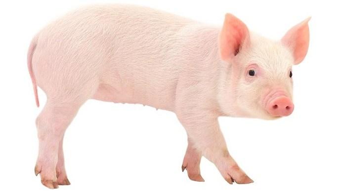 تفسير حلم رؤية الخنزير للعزباء موسوعة المعرفة الشاملة