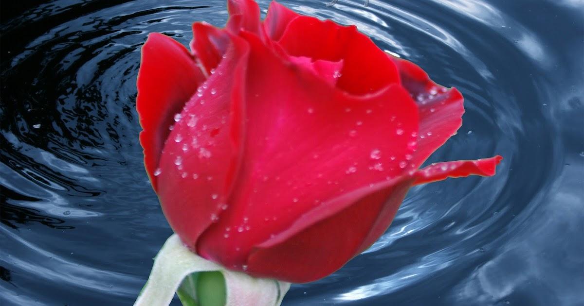 Desktop Wallpaper Quotes Pinterest Hd Red Rose Wallpaper Noexit4u Com