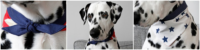 Dalmatian dog wearing a reversible dog bandana with blue neck band, one side red and one side cream with star prints on both sides