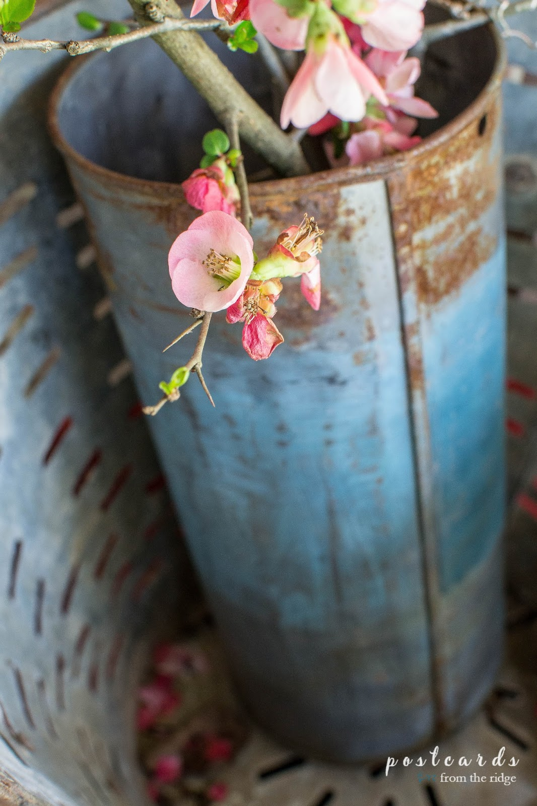 quince branches in a vintage sap bucket