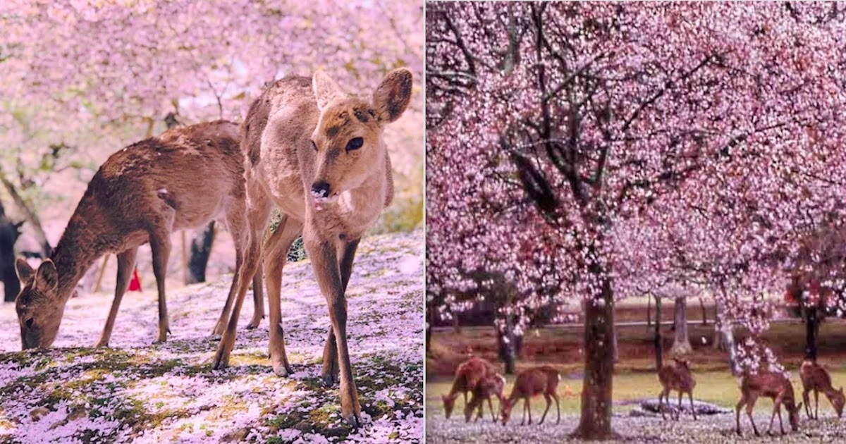 Deer Enjoy The Cherry Blossoms In Japan's Empty Park In Nara During Lockdown
