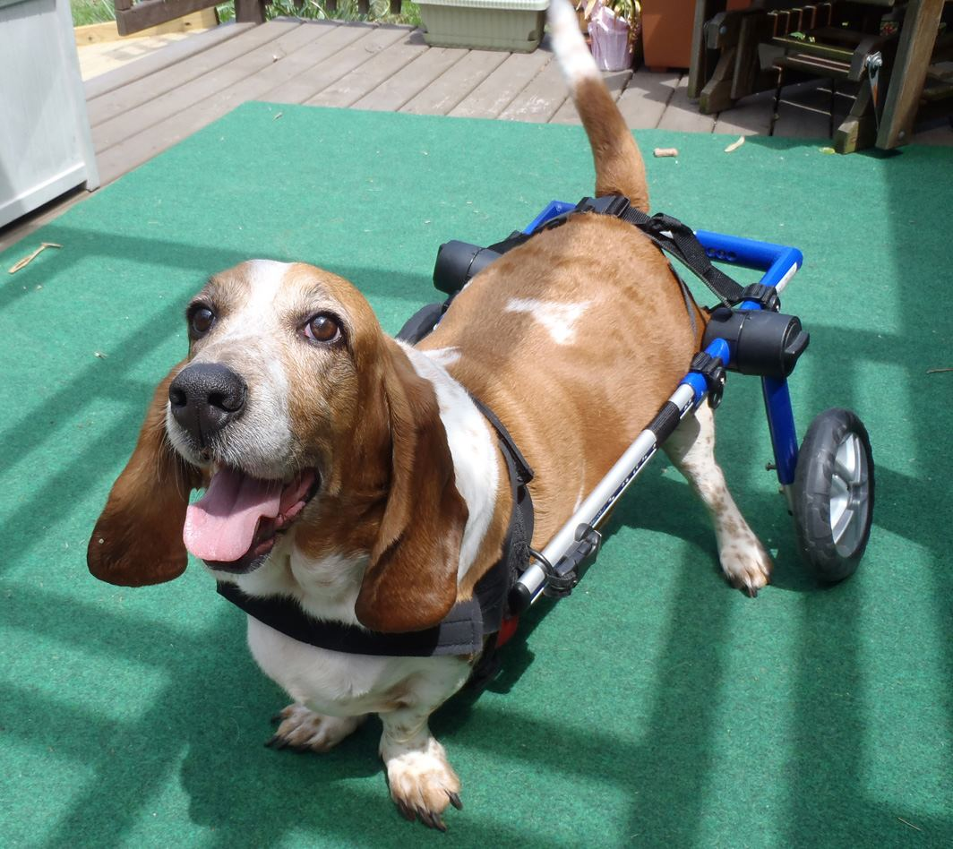 Wheel Chairs For Dogs Event Chair Rental Handicapped Pets Seeing Dog Wheelchair Double