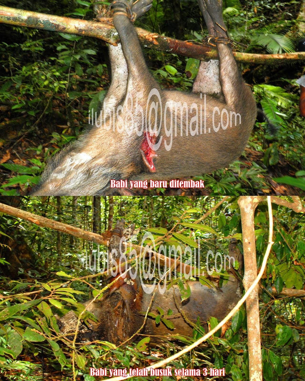 Setan Alas Tersesat Di Pedalaman Hutan Borneo Plus Penampakan