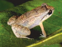 http://sciencythoughts.blogspot.co.uk/2015/11/eleutherodactylus-beguei-new-species-of.html