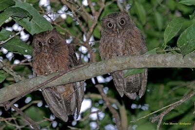 Mayotte Scops Owl