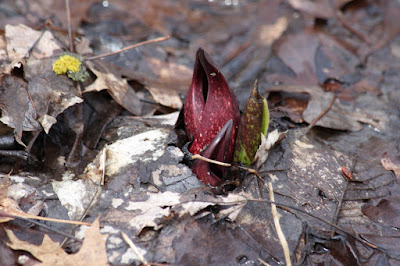 skunk cabbage, late March 2016