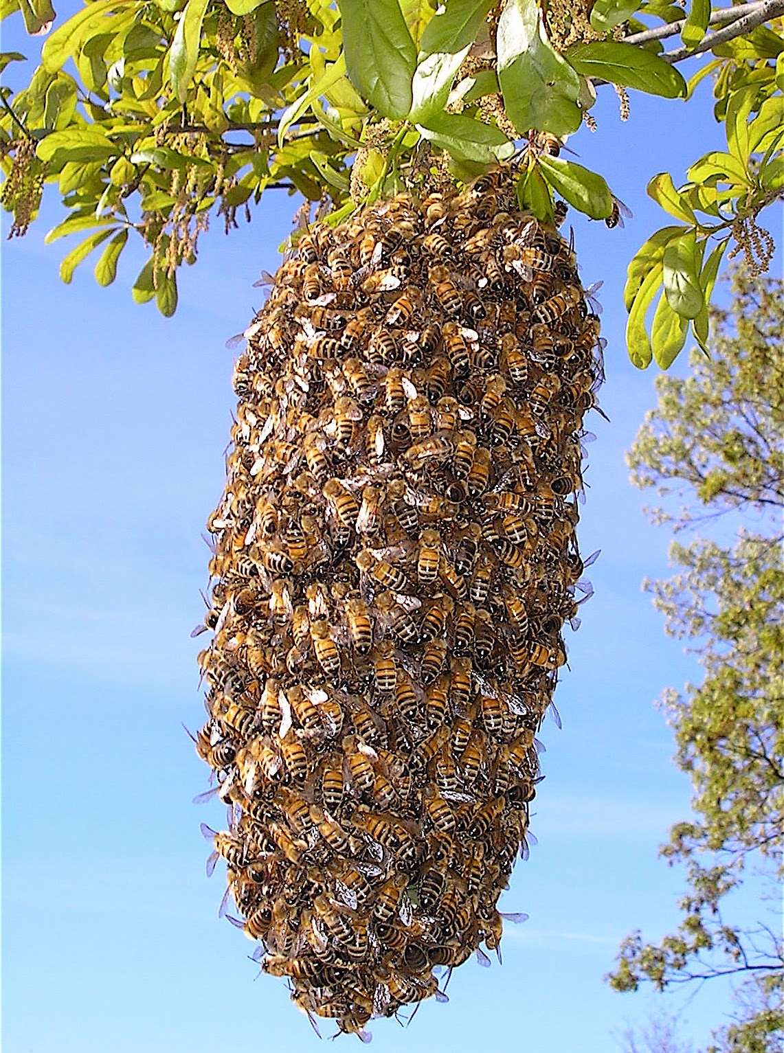 Swarming (honey bee) - Bee swarm on tree branch