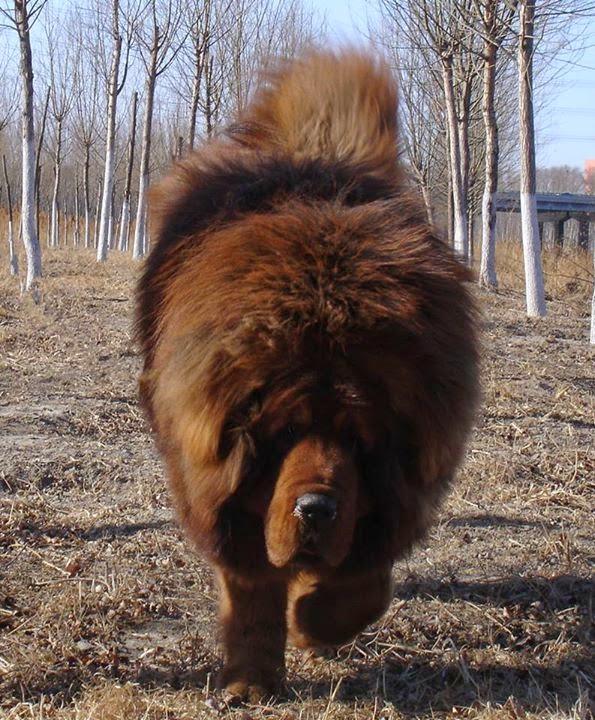 Red Tibetan Mastiff Puppy Yuan Bao ~ Tibetan Mastiff - The Best Biggest Expensive Dog Breed in the World
