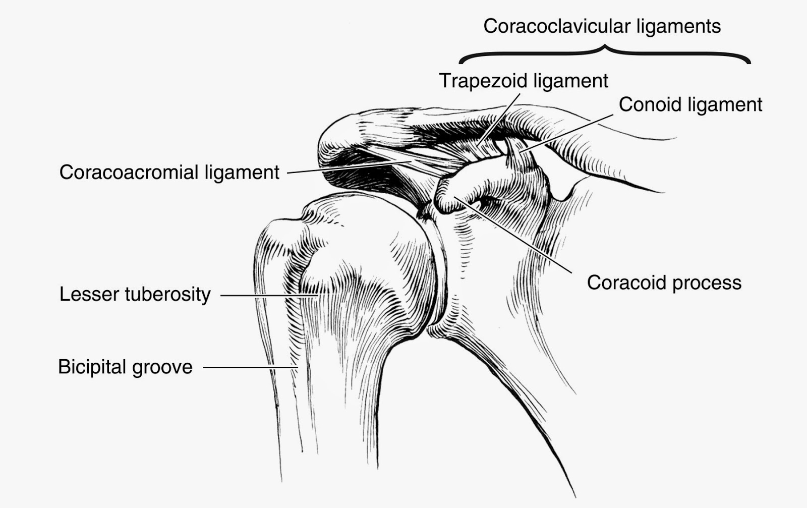 Shoulder Gh External Rotation
