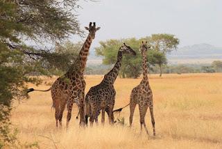 Girafe Safari Tanzanie