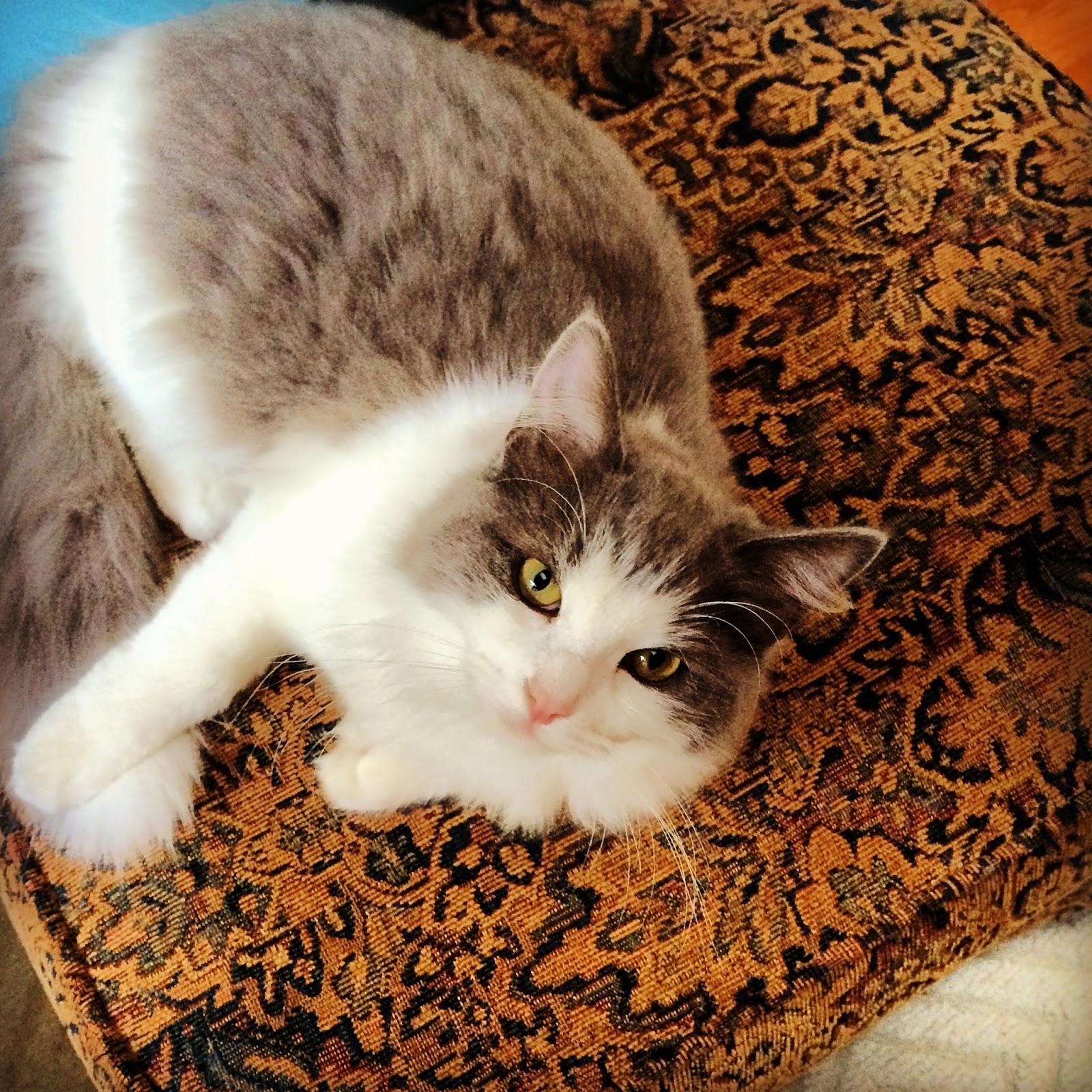 Sweet Ragdoll Kitty Cat | iloveitallwithmonikawright.com