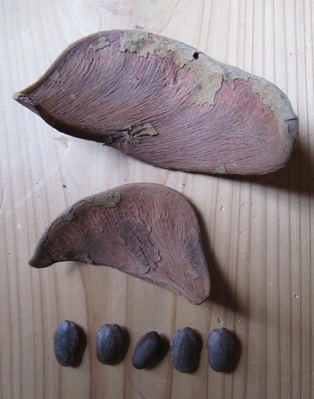 Xylia Xylocarpa: 私の拾いもの: 莢から落ちていた豆