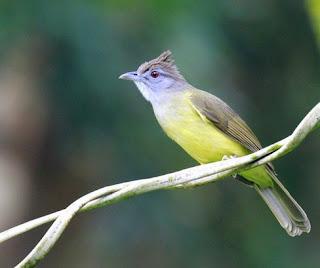 4 Ciri Ciri Akurat Burung Cucak Jenggot Jantan Di Lihat Dari Segi Fisik