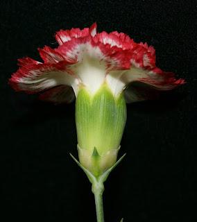 Œillet des fleuristes - Dianthus caryophyllus