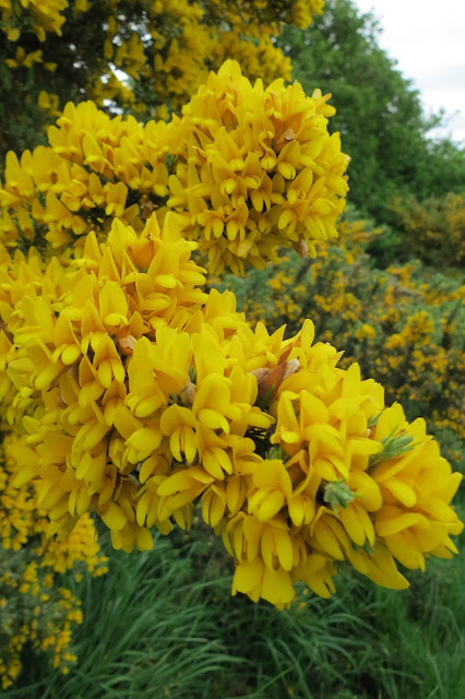Close-up of bright yellow gorse blossom.