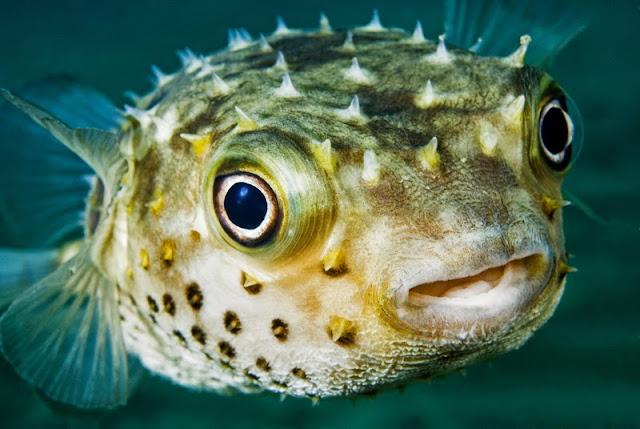 Cá Puffer