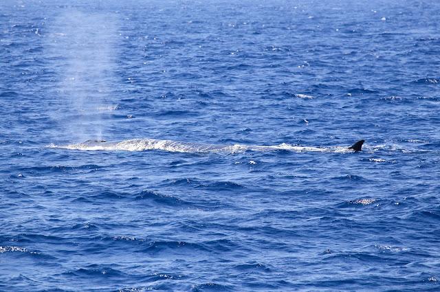 soffio balenottera comune balena liguria avvistamento cetacei whale whalewatchliguria