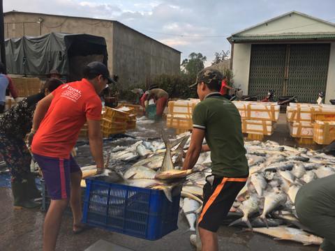 Ngư dân Quảng Ngãi trúng đậm mẻ cá hơn 8 tấn