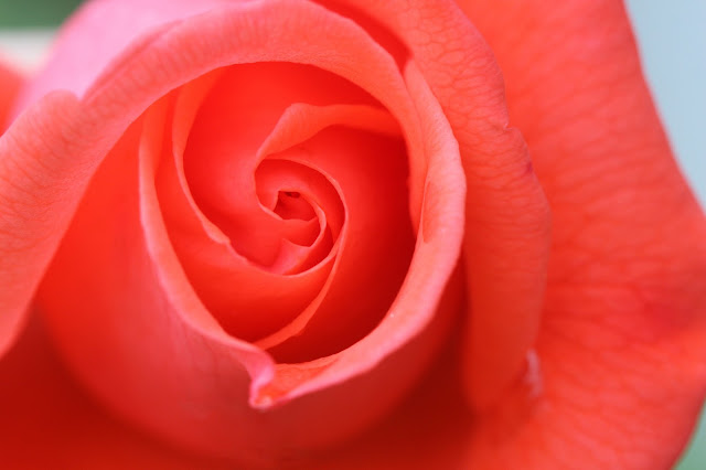 Orange Antique Rose Close up