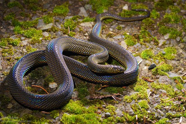 Formosan Odd Scaled Snake