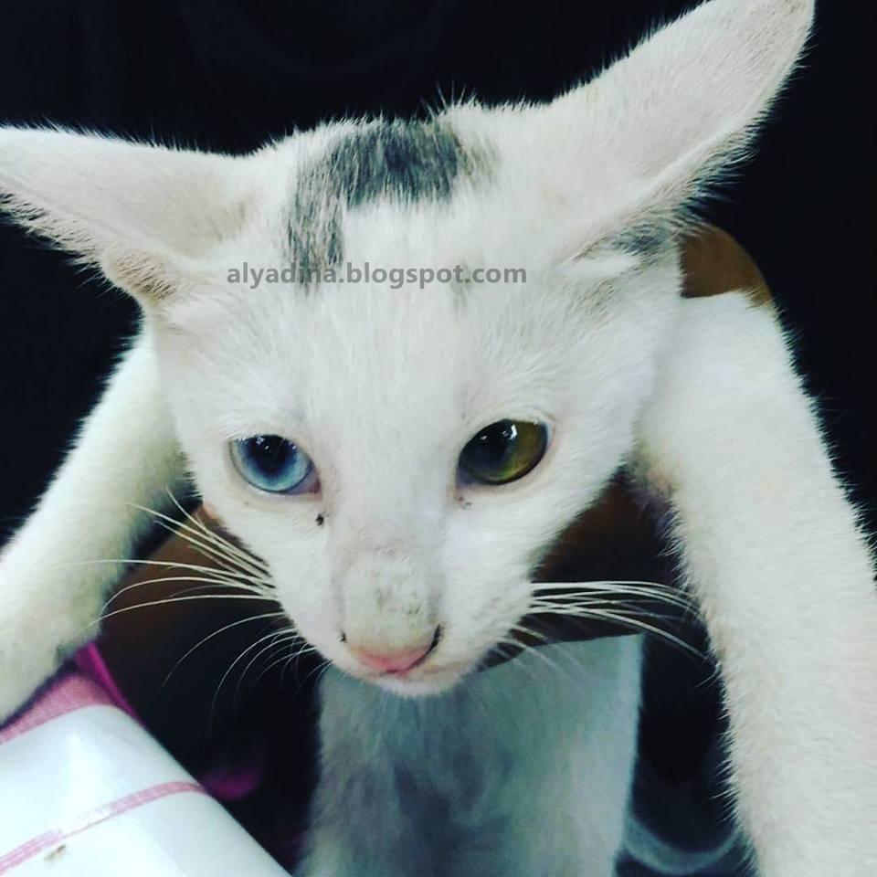 Kucing Warna Mata Berbeza