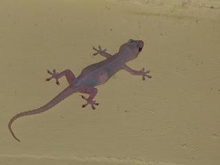 Gecko des maisons - Hémidactyle commun - Hemidactylus frenatus