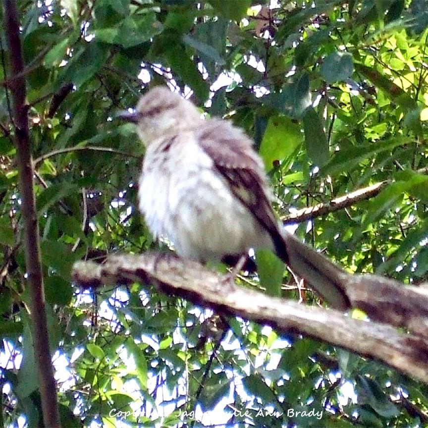 Adult Mockingbird Protective Behavior 16