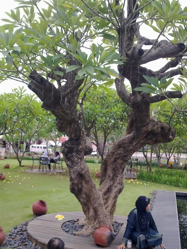 Koleksi Tanaman Hias: Cantiknya Pohon Kamboja di Halaman Rumah