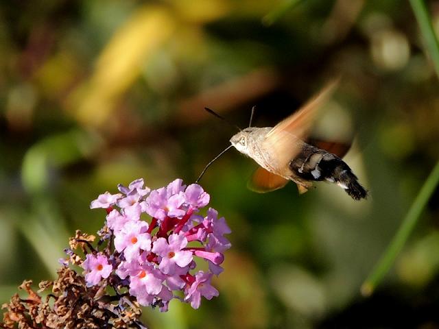 Esfinge colibrí sobre Buddleja davidii