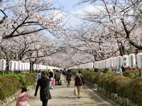 段葛:桜のトンネル