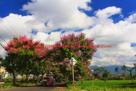 Pohon Bungur yang sedang berbunga di Jalan Laswi Tasikmalaya.