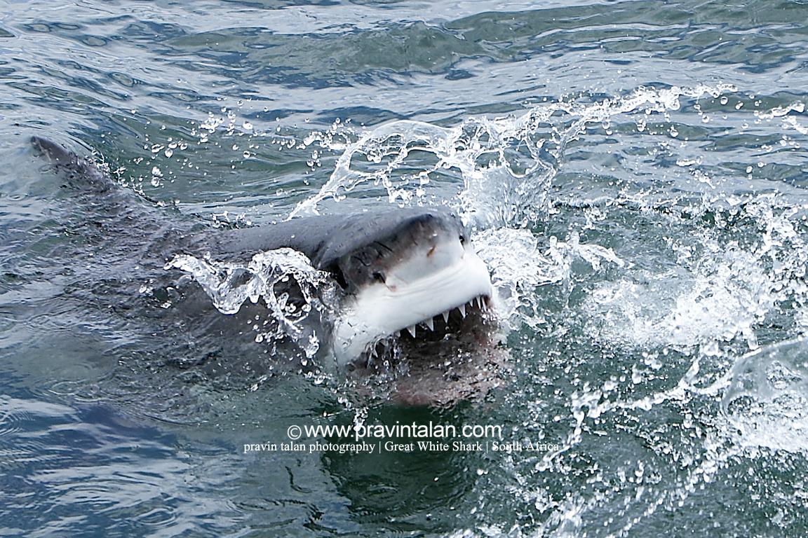 The gallery for --> Great White Shark Jumping At A ...