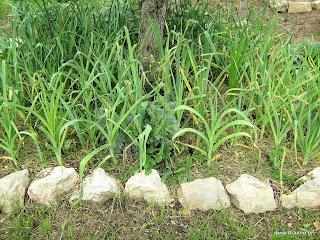 Πράσο: σπορά φύτεμα καλλιέργεια