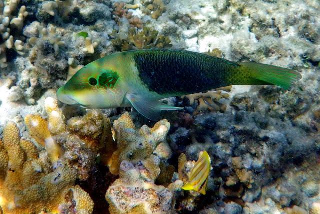 Heron Island Korallen Riff  Fisch Coral Reef Fish Insel