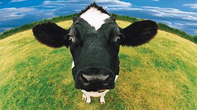 Fotos simpáticas de vacas,