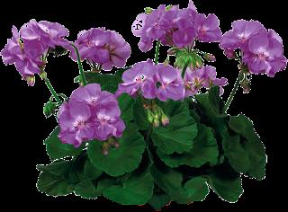 plantas,flores,png,recursos,cutaut,tube,clipart,flowers,spring