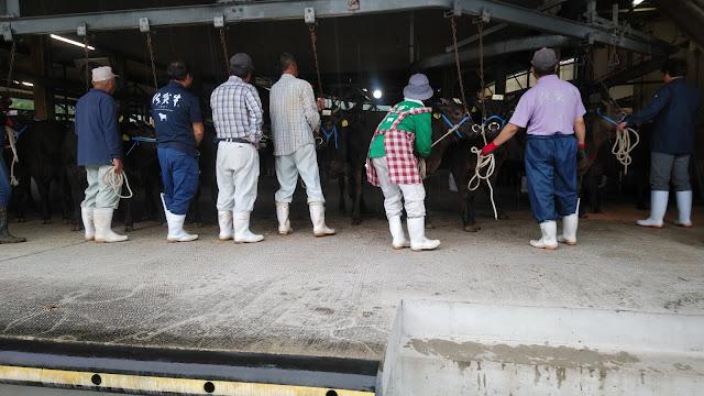 子牛の競りとカラス被害