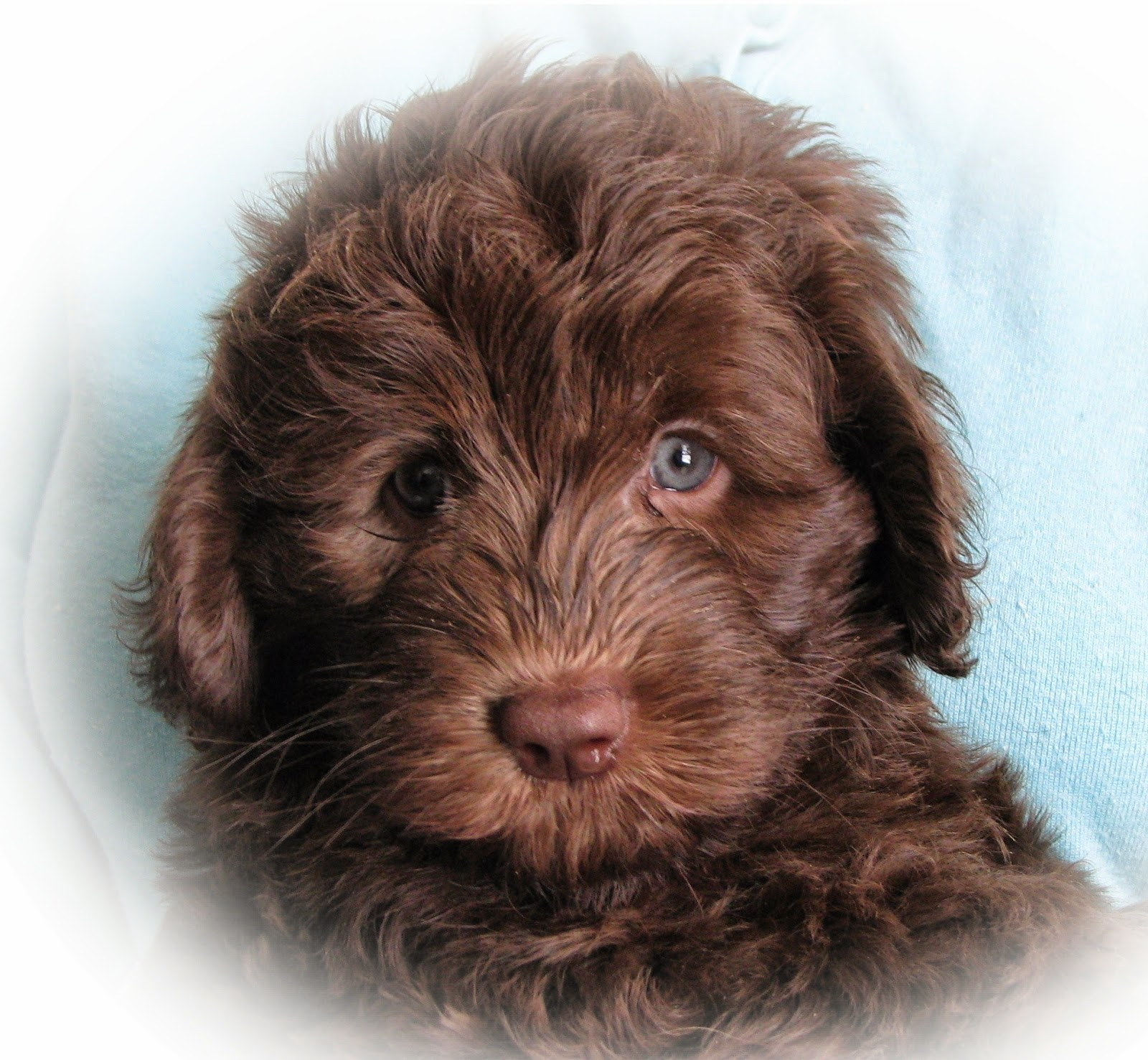 Rules Of The Jungle Labradoodle Puppies