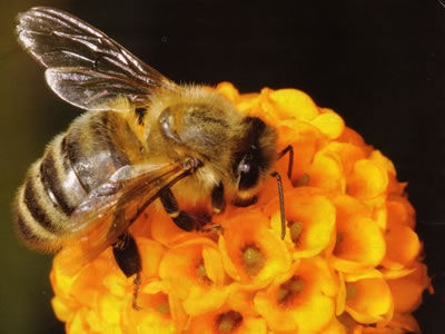 Amazing Honey Bee Facts ~ The About - photo#3