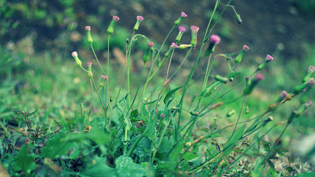 Emilia Sonchifolia Benefits