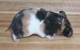 تعرف على اشكال وانواع الهامستر بالصور + فديو Types of Hamsters