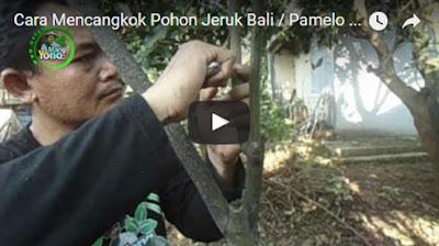 Cara Mencangkok Pohon Jeruk Bali/Pamelo Yang Baik Dan Benar