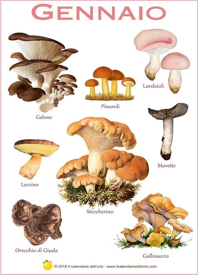 funghi di gennaio