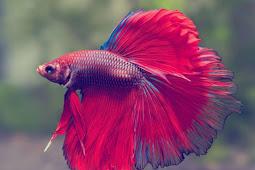 Spesies - spesies Ikan Laga atau Ikan Cupang Paling Banyak Digemari