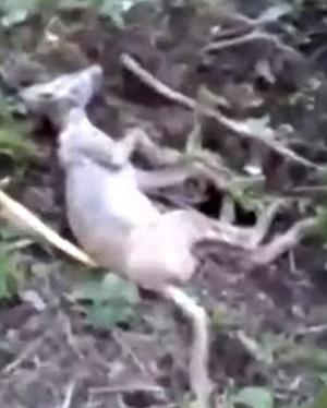 ¿Chupacabras cazado en Ucrania?