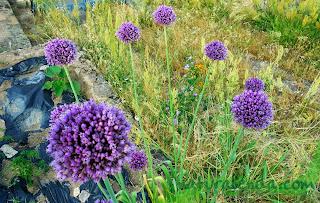 flores moradas de cebolla