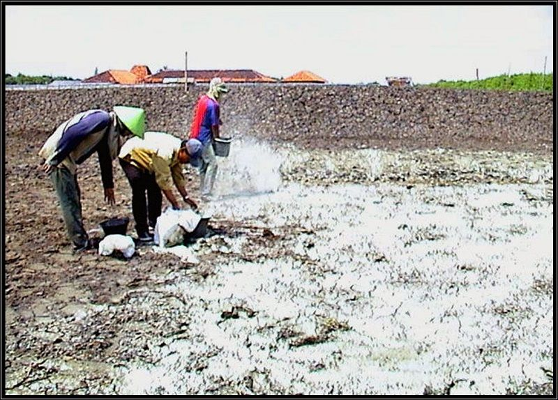 Gambar Pengapuran dasar kolam tanah