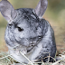 8 Reasons Why Chinchillas Are Good Pets