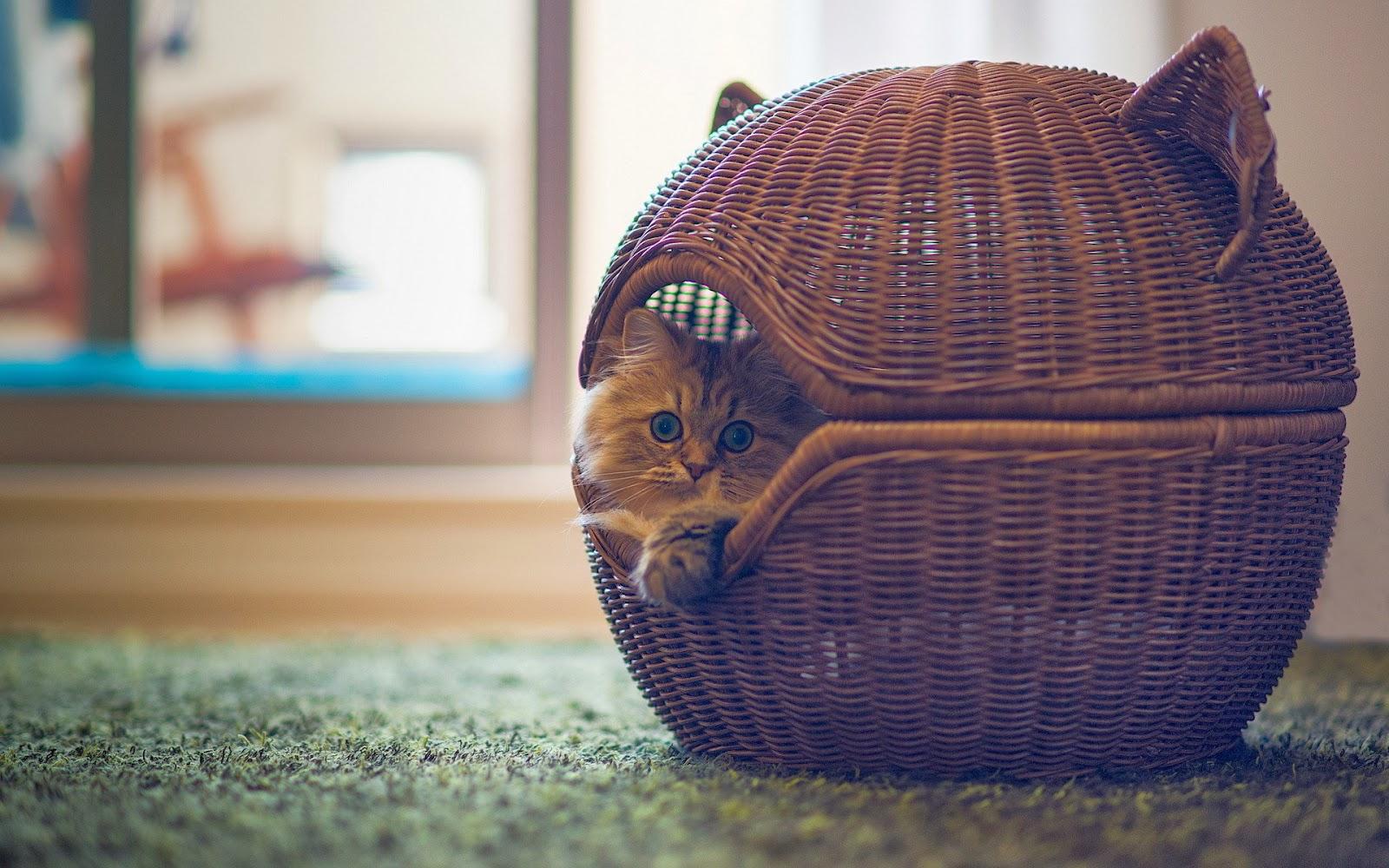 indah-kucing-foto-wallpaper