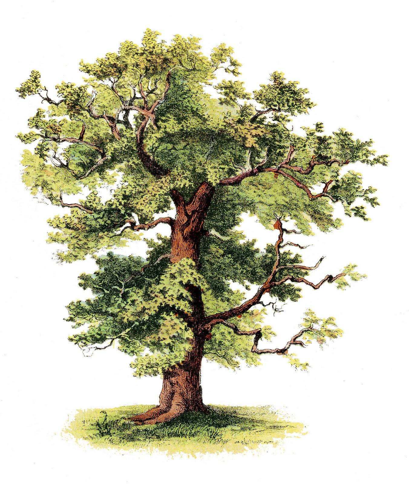 oak tree clip art images - photo #31